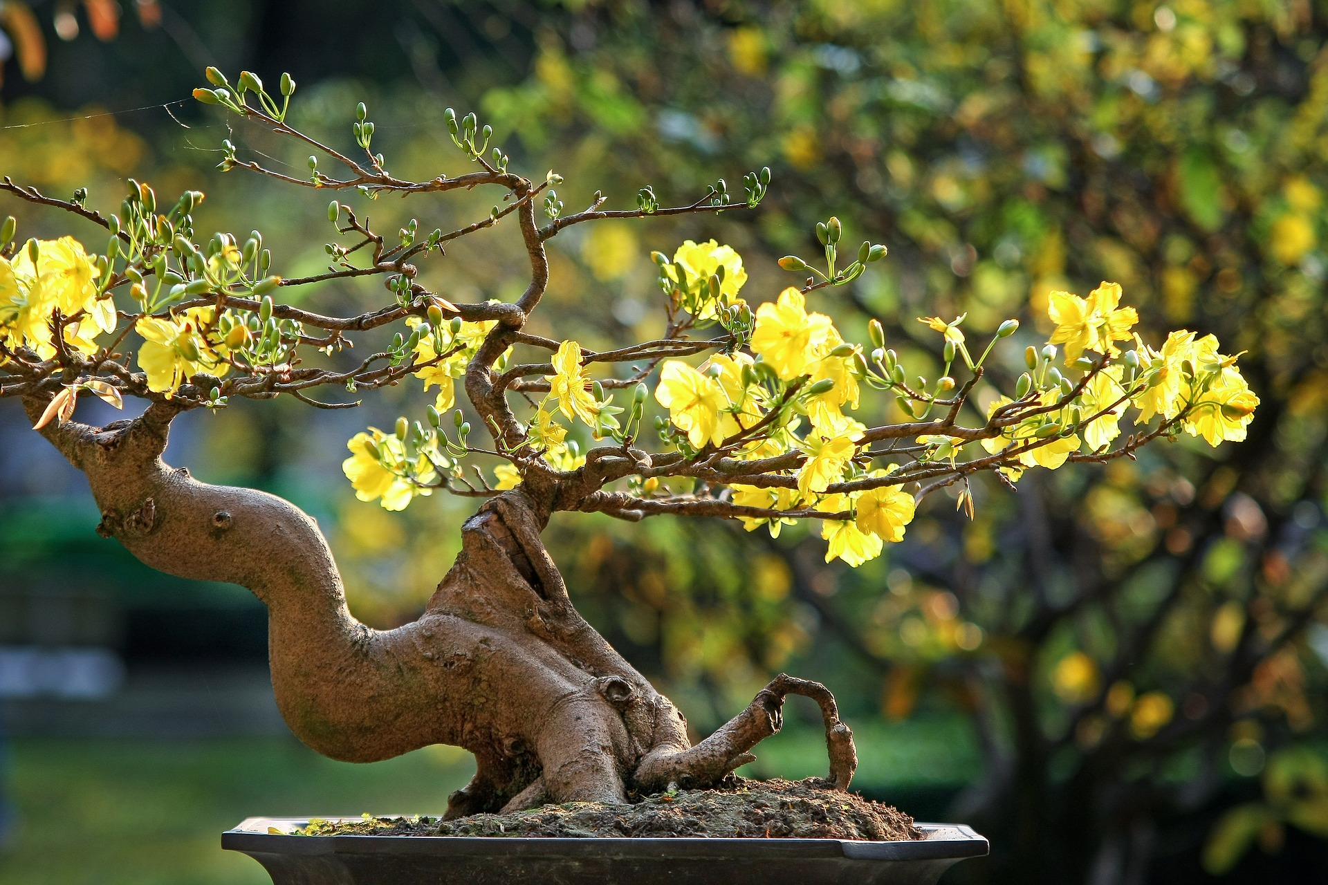 Yellow Apricot Flower (Hoa Mai) – Symbol of Tết in Vietnam